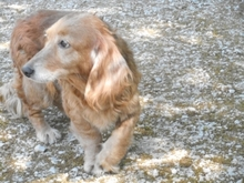 MINYUS, Hund, Dackel-Mix in Ungarn - Bild 4