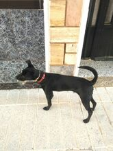 ODIN, Hund, Pinscher-Mix in Spanien - Bild 6