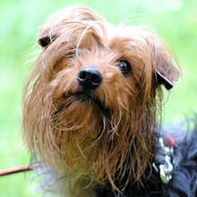 PAUL, Hund, Yorkshire Terrier in Rodgau - Bild 1