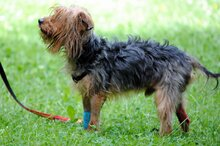 PAUL, Hund, Yorkshire Terrier in Rodgau - Bild 2