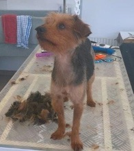 PAUL, Hund, Yorkshire Terrier in Rodgau - Bild 3