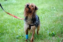 PAUL, Hund, Yorkshire Terrier in Rodgau - Bild 5