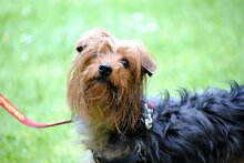 PAUL, Hund, Yorkshire Terrier in Rodgau - Bild 6