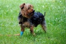 PAUL, Hund, Yorkshire Terrier in Rodgau - Bild 7