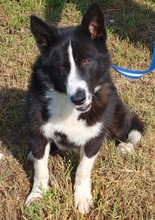 HUMMER, Hund, Border Collie in Kroatien - Bild 4