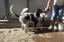 ANGELINA, Hund, Jagdhund-Mix in Italien - Bild 4