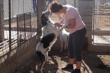 ANGELINO, Hund, Spinone Italiano-Mix in Italien - Bild 13