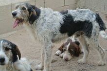 ANGELINO, Hund, Spinone Italiano-Mix in Italien - Bild 18