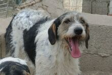 ANGELINO, Hund, Spinone Italiano-Mix in Italien - Bild 19