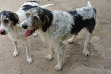 ANGELINO, Hund, Spinone Italiano-Mix in Italien - Bild 21