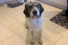 ANGELINO, Hund, Spinone Italiano-Mix in Italien - Bild 8