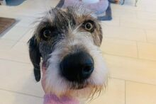 ANGELINO, Hund, Spinone Italiano-Mix in Italien - Bild 9