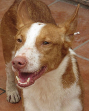 CHUMBO, Hund, Podenco-Mix in Spanien - Bild 1