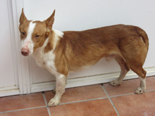 CHUMBO, Hund, Podenco-Mix in Spanien - Bild 11