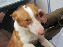 CHUMBO, Hund, Podenco-Mix in Spanien - Bild 3
