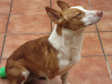CHUMBO, Hund, Podenco-Mix in Spanien - Bild 6