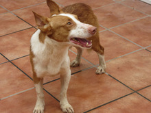 CHUMBO, Hund, Podenco-Mix in Spanien - Bild 7