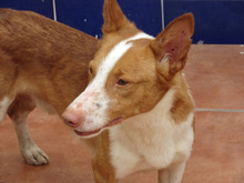 CHUMBO, Hund, Podenco-Mix in Spanien - Bild 8