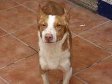 CHUMBO, Hund, Podenco-Mix in Spanien - Bild 9