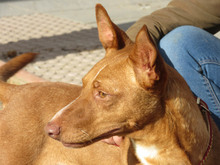 GARBANZO, Hund, Podenco in Spanien - Bild 6