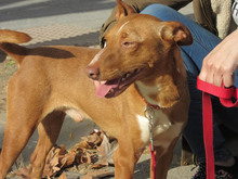 GARBANZO, Hund, Podenco in Spanien - Bild 7