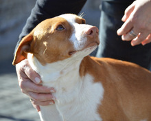 VICO, Hund, Podenco-Mix in Spanien - Bild 1