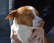 VICO, Hund, Podenco-Mix in Spanien - Bild 12