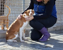 VICO, Hund, Podenco-Mix in Spanien - Bild 3