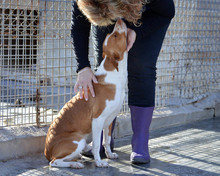VICO, Hund, Podenco-Mix in Spanien - Bild 4