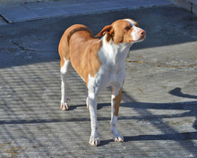 VICO, Hund, Podenco-Mix in Spanien - Bild 5