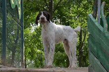 ULYSSE, Hund, Deutsch Drahthaar-Mix in Italien - Bild 3
