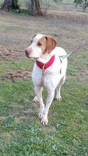 CHARLI, Hund, Pointer in Spanien - Bild 4