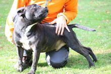 IRON, Hund, Molosser-Mix in Italien - Bild 2