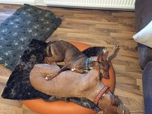 DEAN, Hund, Podenco-Mix in Waake - Bild 11