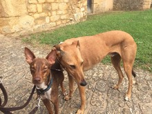 DEAN, Hund, Podenco-Mix in Waake - Bild 14