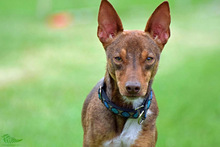 DEAN, Hund, Podenco-Mix in Waake - Bild 2