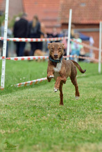 DEAN, Hund, Podenco-Mix in Waake - Bild 3
