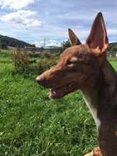 DEAN, Hund, Podenco-Mix in Waake - Bild 4