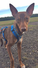 DEAN, Hund, Podenco-Mix in Waake - Bild 6