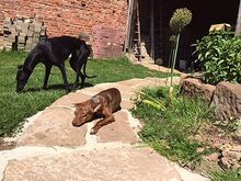 DEAN, Hund, Podenco-Mix in Waake - Bild 8