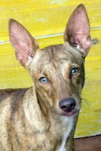 JAMES, Hund, Podenco-Mix in Spanien - Bild 1