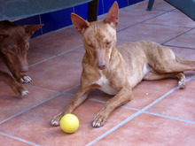 JAMES, Hund, Podenco-Mix in Spanien - Bild 3