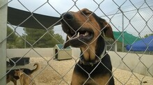 SIMON, Hund, Dobermann-Mix in Spanien - Bild 1