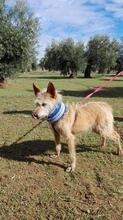 YUNO, Hund, Podenco-Mix in Spanien - Bild 2