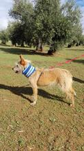 YUNO, Hund, Podenco-Mix in Spanien - Bild 4