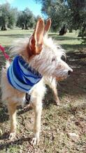 YUNO, Hund, Podenco-Mix in Spanien - Bild 6