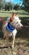 YUNO, Hund, Podenco-Mix in Spanien - Bild 9