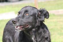 PENNY, Hund, Collie-Mix in Hoogstede - Bild 3