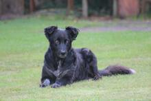 PENNY, Hund, Collie-Mix in Hoogstede - Bild 5