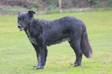 PENNY, Hund, Collie-Mix in Hoogstede - Bild 6